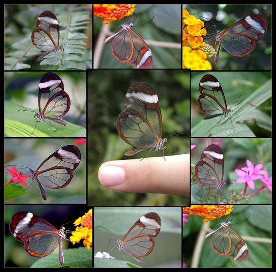 پروانههای شفاف