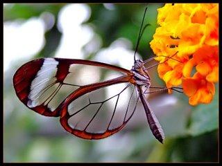 پروانهی شفاف